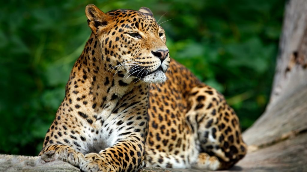 Leopard New Full HD Pics